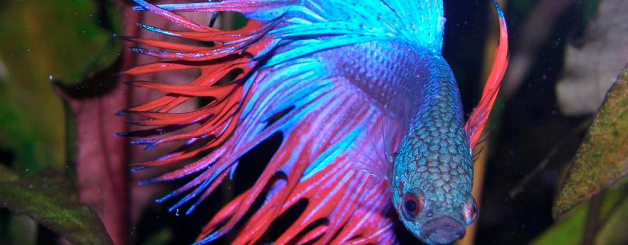 come-allevare-la-betta-splendens